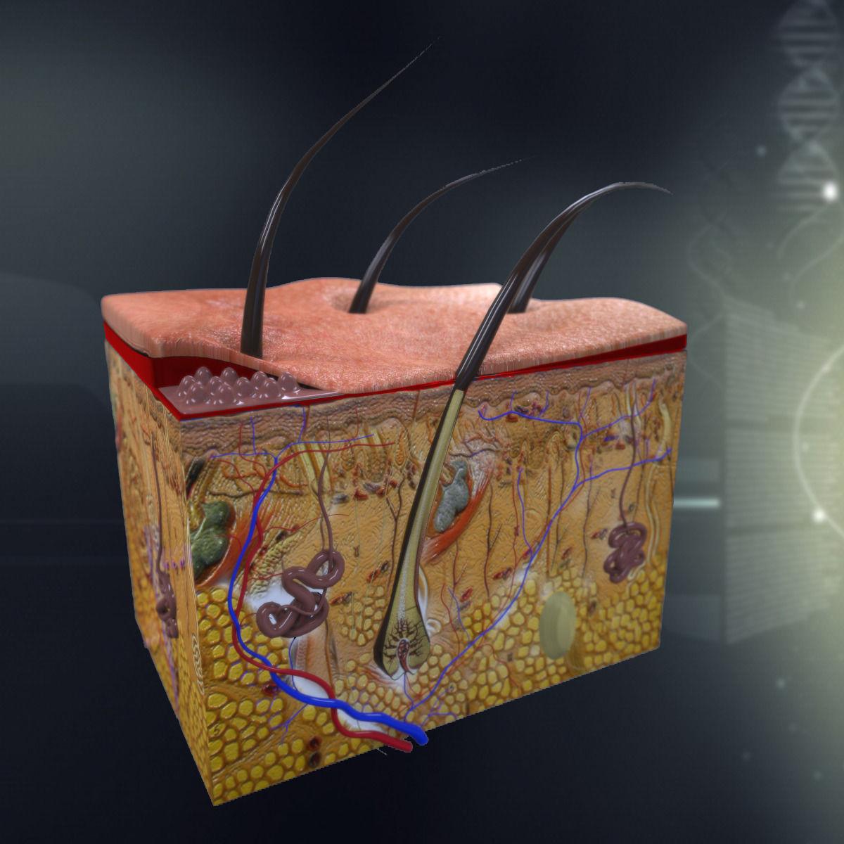 Human Skin Anatomy 3d Model Max Obj 3ds Fbx C4d Lwo Lw Lws