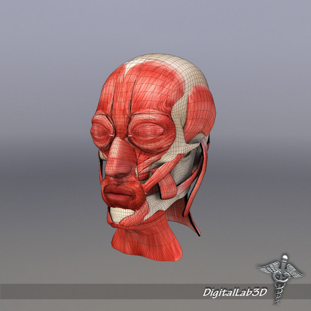 muscles of facial expression diagram strat wiring series parallel out phase muscle structure 3d model max obj 3ds fbx c4d lwo