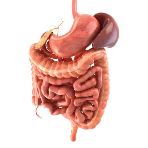 large intestine diagram blank savanna animal food chain 3d model digestive system animated vr / ar low-poly rigged max obj fbx c4d lwo lw lws ...