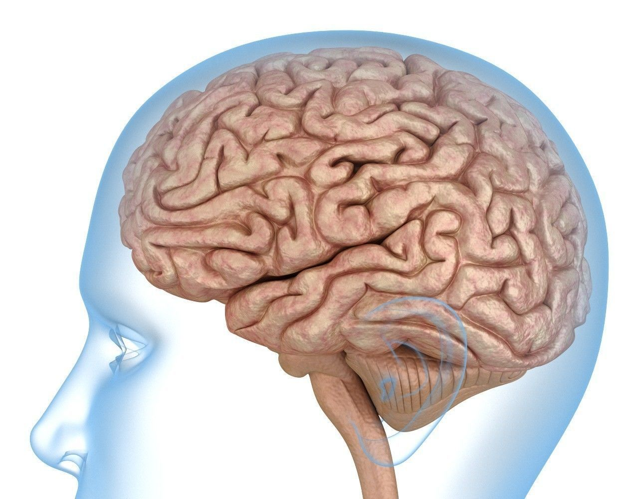 hight resolution of human brain anatomy 3d model 3d model
