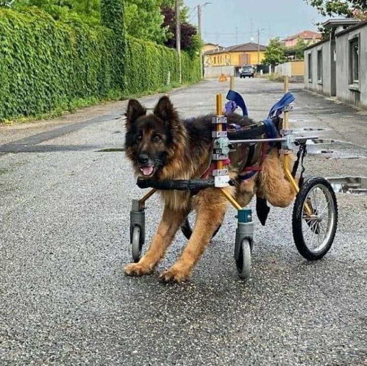 Bitonto, fu abbandonato paralizzato: l'ultimo viaggio del cane Heart è al mare
