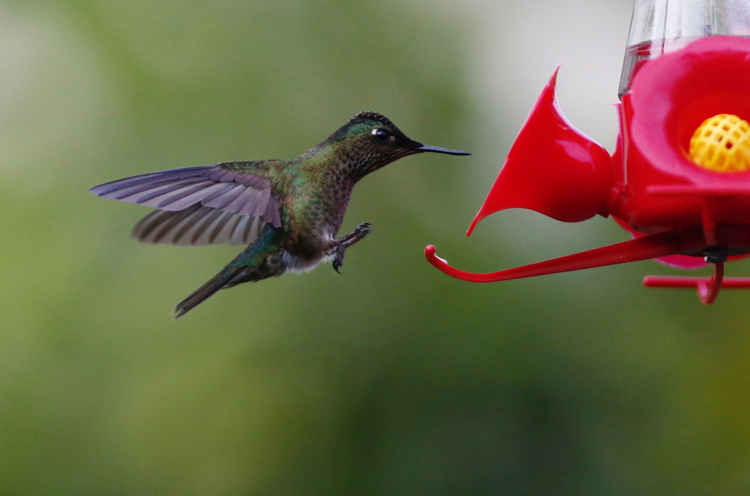 Слайд 29 из 67: A humming bird is seen landing on a bird feeder at a public square in Santiago, Chile, June 19, 2016.
