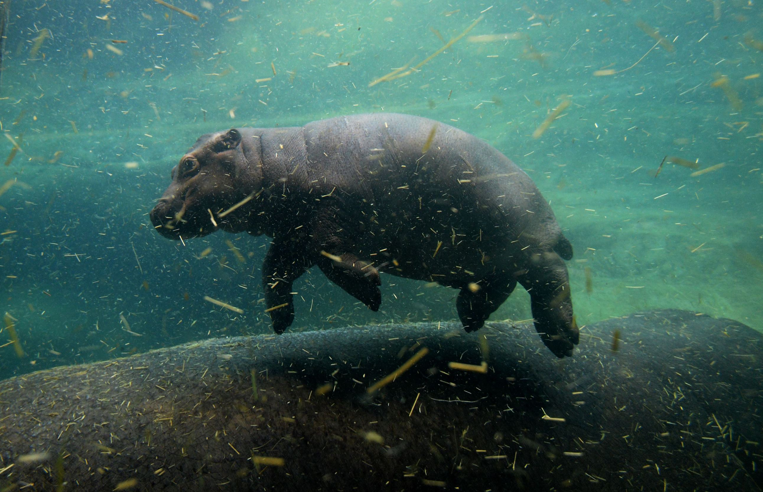 Слайд 35 из 67: A one-month-old baby hippo  swims with its mother Maruska in their enclosure at the zoo in Prague on February 24, 2016. / AFP / Michal Cizek        (Photo credit should read MICHAL CIZEK/AFP/Getty Images)