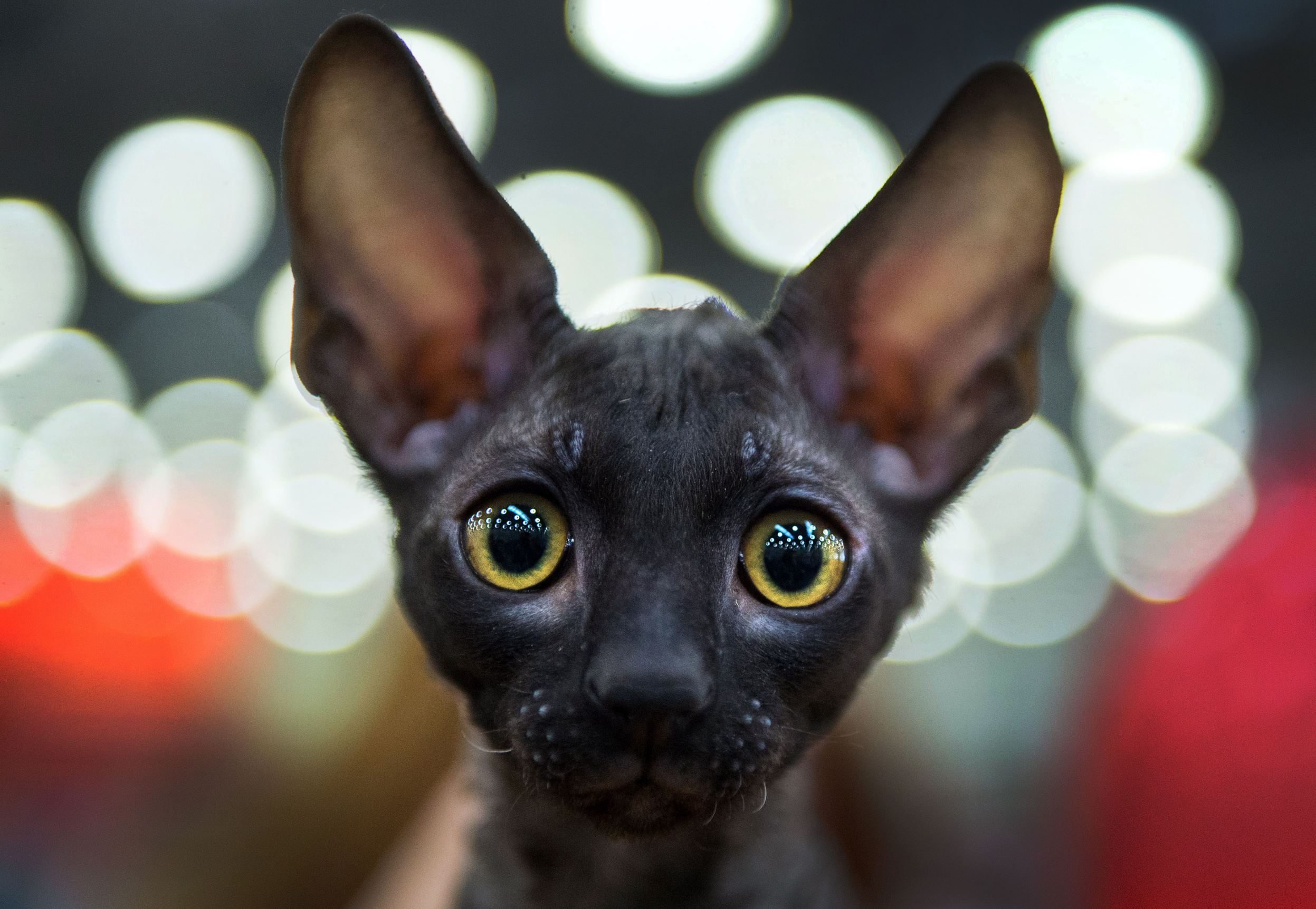 Слайд 36 из 67: TOPSHOT - A Cornish Rex breed cat attends the Catsburg 2016 International Cats show in Moscow on March 5, 2016. / AFP / DMITRY SEREBRYAKOV        (Photo credit should read DMITRY SEREBRYAKOV/AFP/Getty Images)