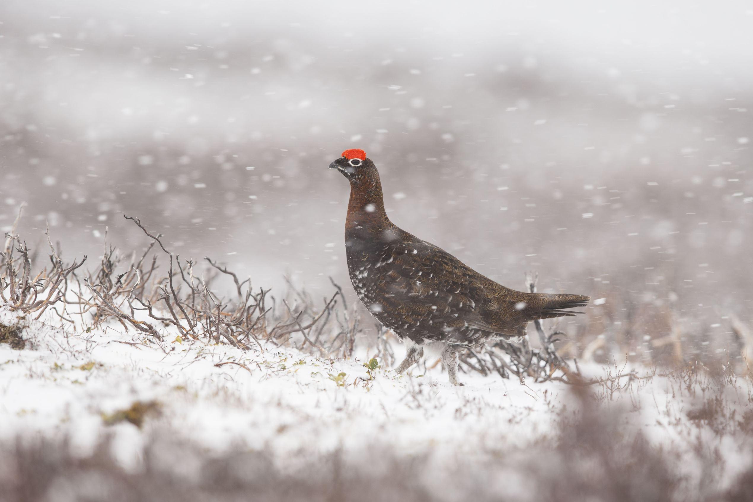 Слайд 41 из 67: Snow in Aberdeenshire, Scotland, Britain - 25 Apr 2016 Red Grouse (Lagopus lagopus scoticus) amongst heather in snow