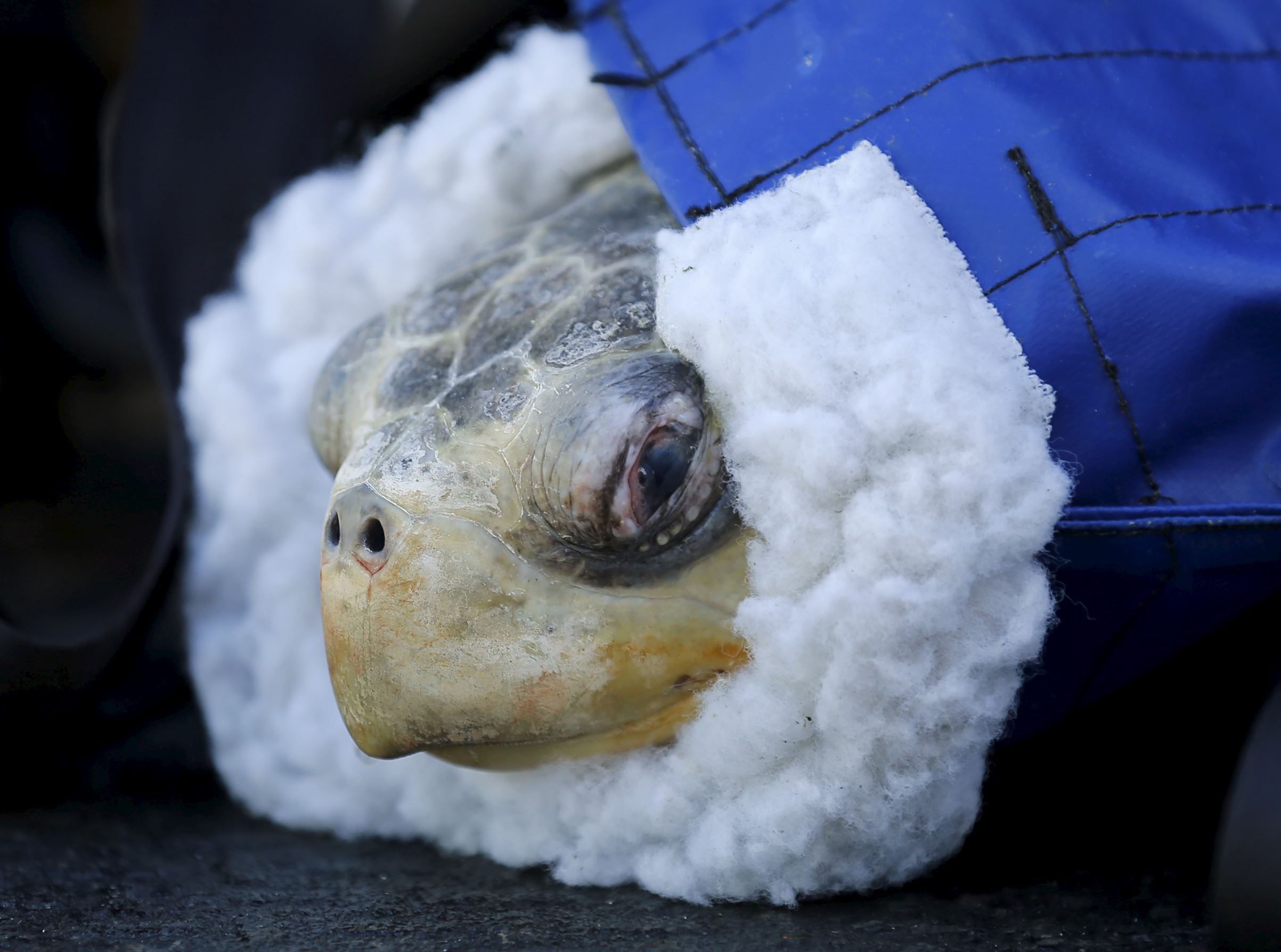 Слайд 52 из 67: One of two rescued endangered olive ridley turtles arrives at Sea World's animal rescue center after being flown from the Oregon coast by the U.S. Coast Guard to San Diego, California March 30, 2016.