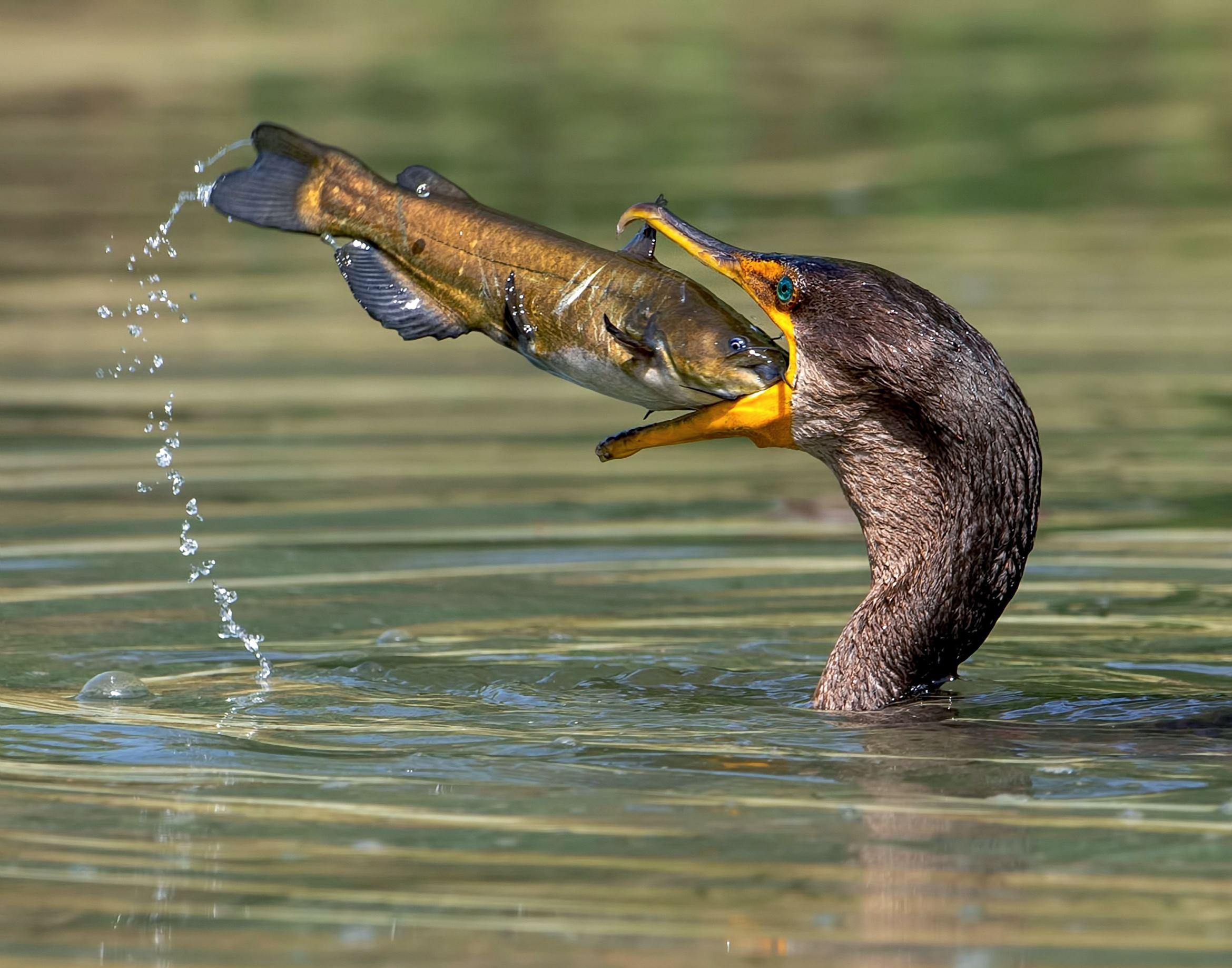Слайд 25 из 67: Cormorant eats a fish in Fullerton Arboretum, California, USA - May 2016 Cormorant catching and eating the catfish