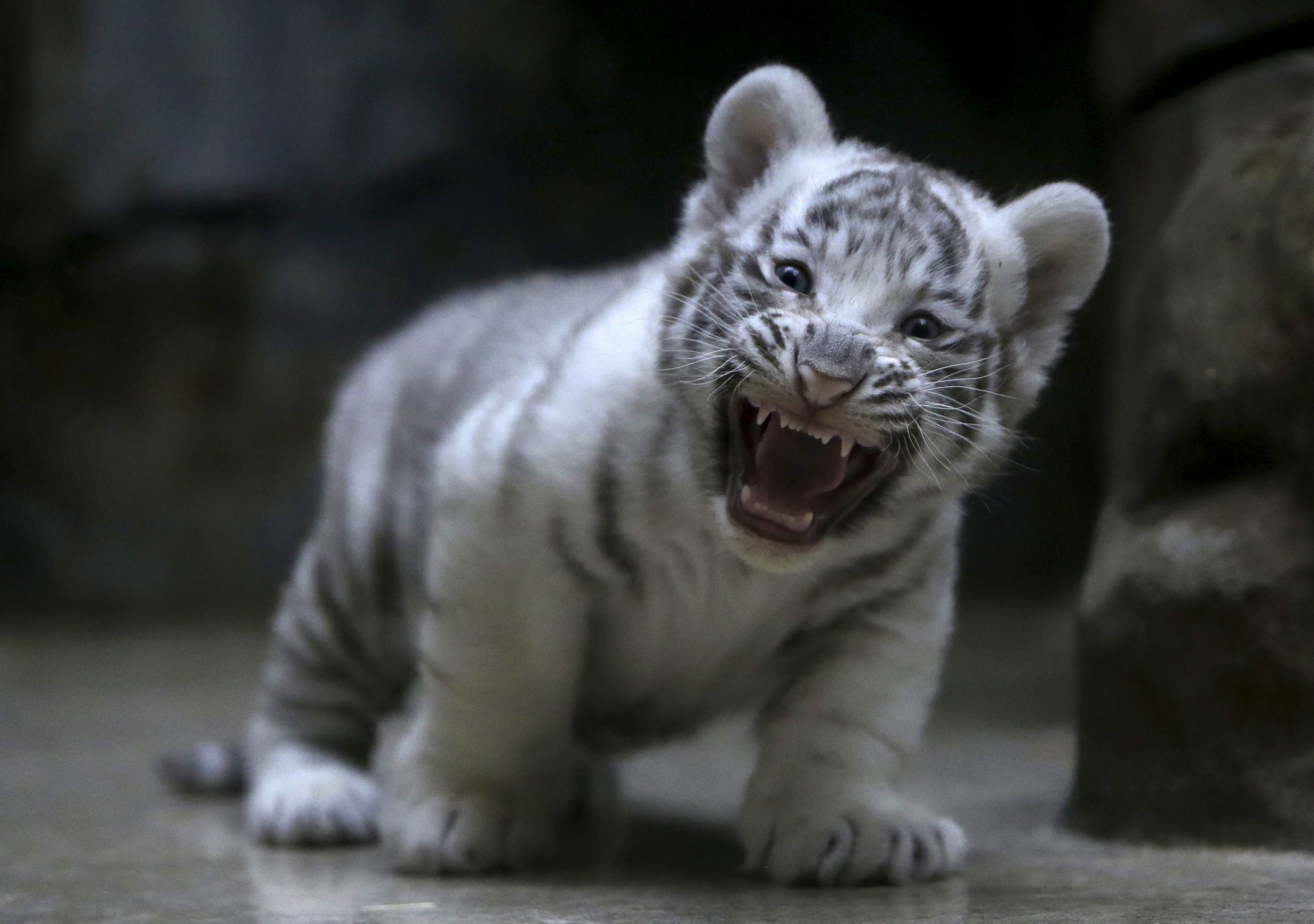 Слайд 45 из 67: A newly born Indian white tiger cub yawns in its enclosure at Liberec Zoo, Czech Republic, April 25, 2016.