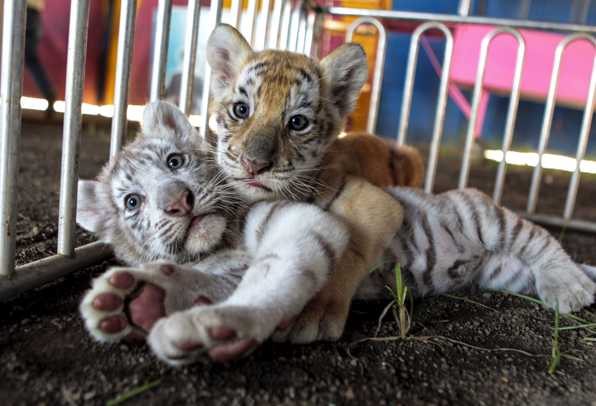 Слайд 51 из 67: A white Bengal tiger cub plays with its sister, a golden Bengal tiger cub, at the Circo de Renato (Renato Circus) in Ciudad Sandino, Nicaragua April 6, 2016. Picture taken April 6.
