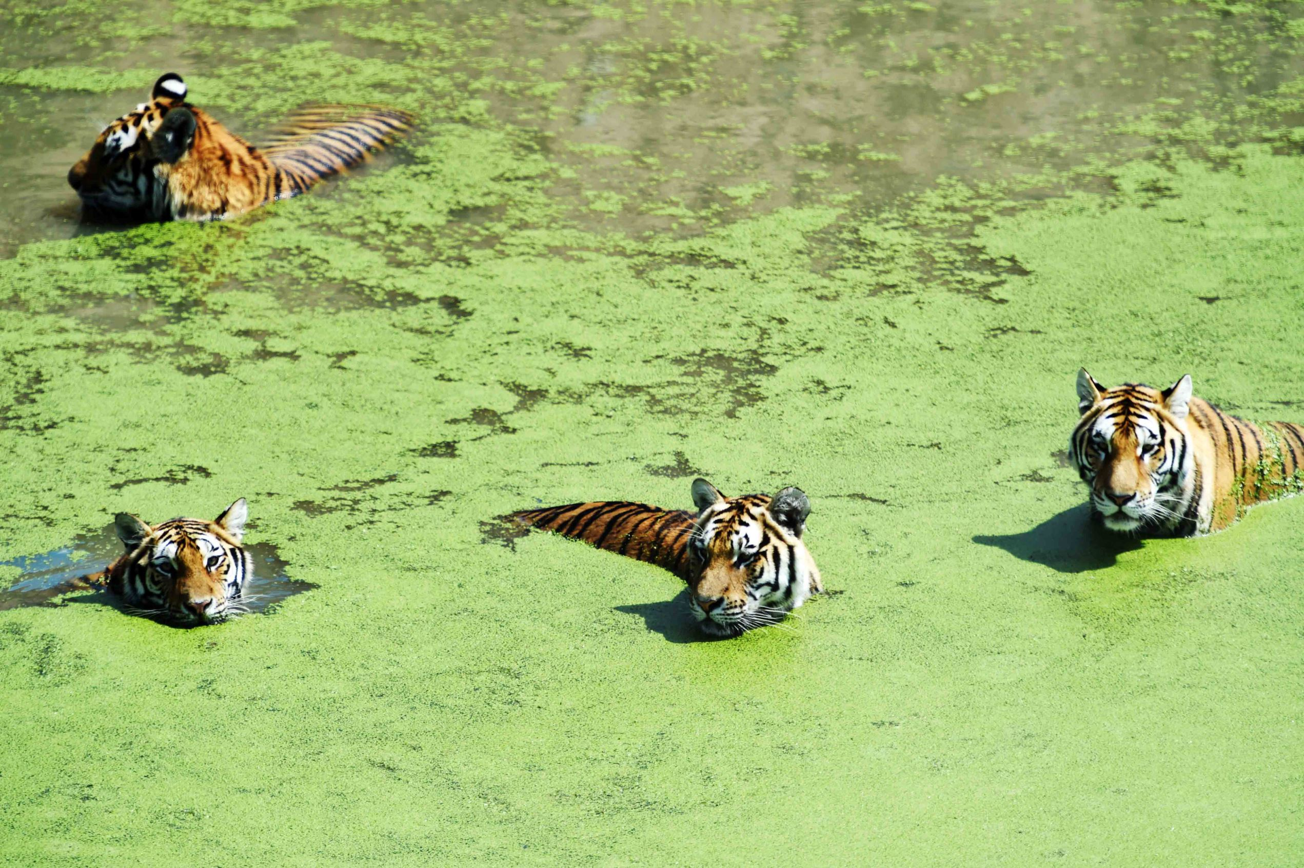 Слайд 5 из 67: Tigers at Harbin Zoo, China - 04 Aug 2016 Siberian tigers cool themselves off in a pond amid summer heat at a zoo in Harbin, capital of northeast China's Heilongjiang Province