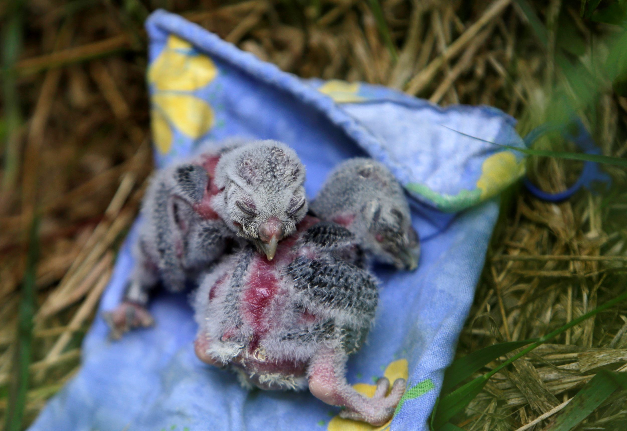 "Слайд 30 из 67: Two Boreal owl chicks rest outside the ""Smart Nest Box"", which allows the study of birds by using mounted cameras, after being inspected in a forest near the village of Mikulov, Czech Republic, June 18, 2016."