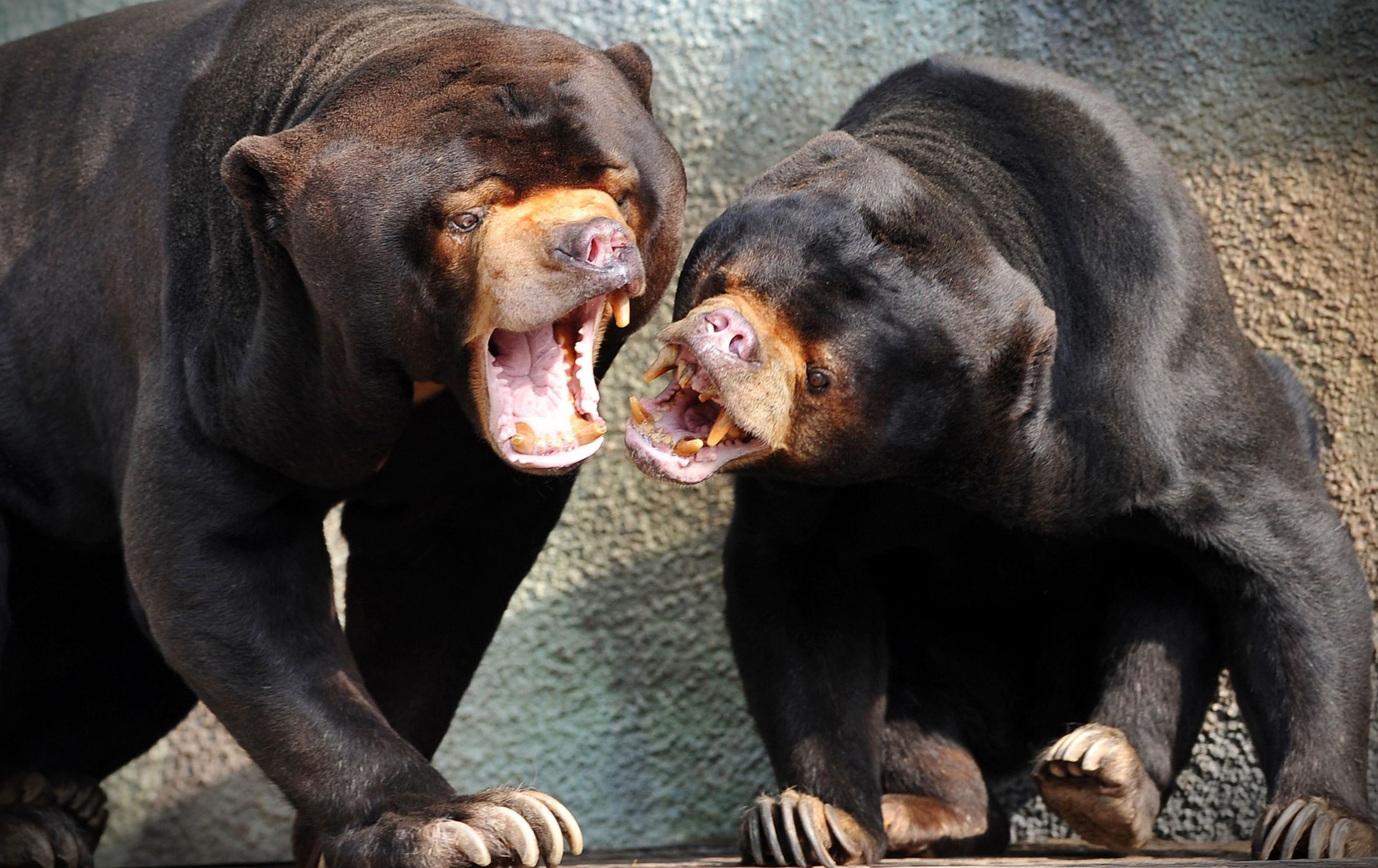 Слайд 3 из 67: Sun bears at Usti nad Labem Zoo, Czech Republic - 19 Jul 2016 Sun bear female Babu and her mother Barma