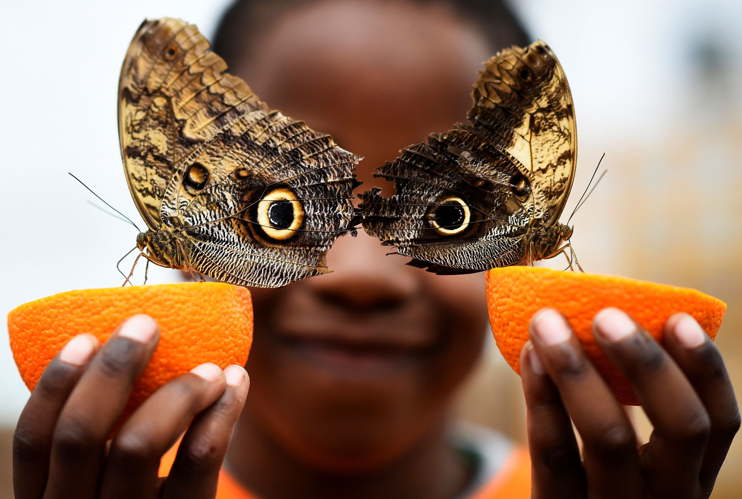 Слайд 53 из 67: Bjorn, aged 5, smiles as he poses with a Owl butterfly during an event to launch the Sensational Butterflies exhibition at the Natural History Museum in London, Britain March 23, 2016.