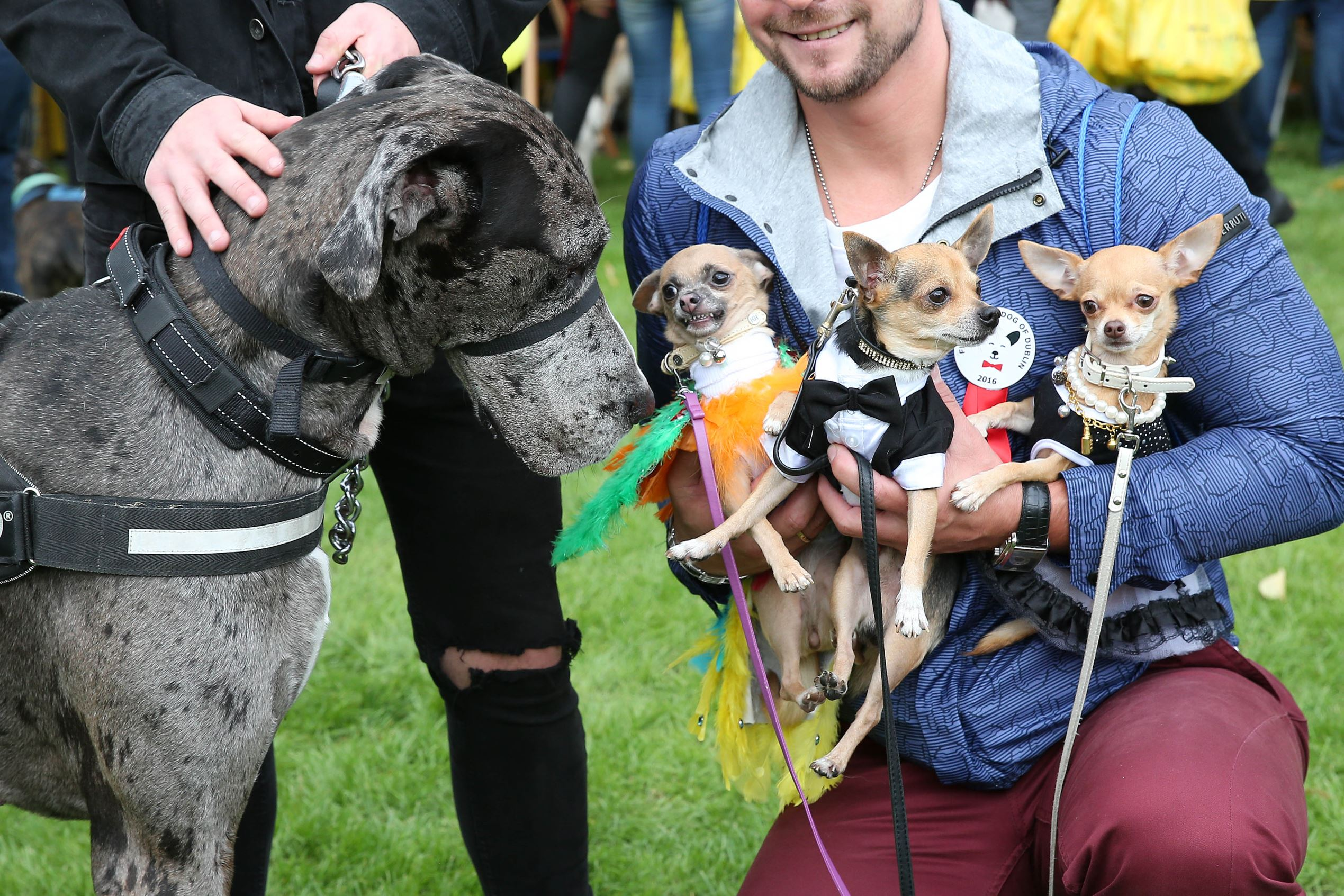 Слайд 9 из 67: The Doggie Do canine festival, Dublin, Eire - 11 Sep 2016 Tomas Liudvinavicius' Chihuahuas Rambo, Daisy and Chloe meet Theo Foley's dog Django