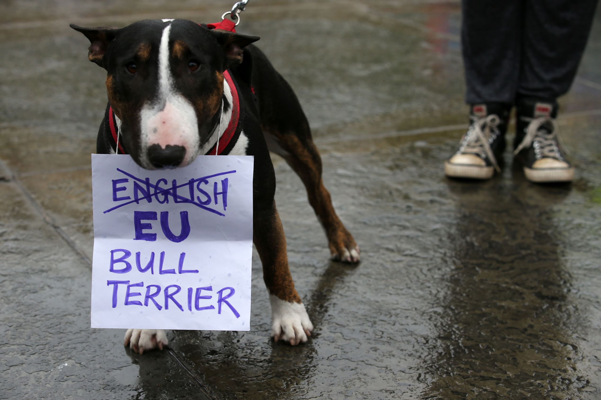 Слайд 26 из 67: A Bull Terrier called 'T-Bone' holds a placard in his mouth at an anti-Brexit protest in Trafalgar Square in central London on June 28, 2016.