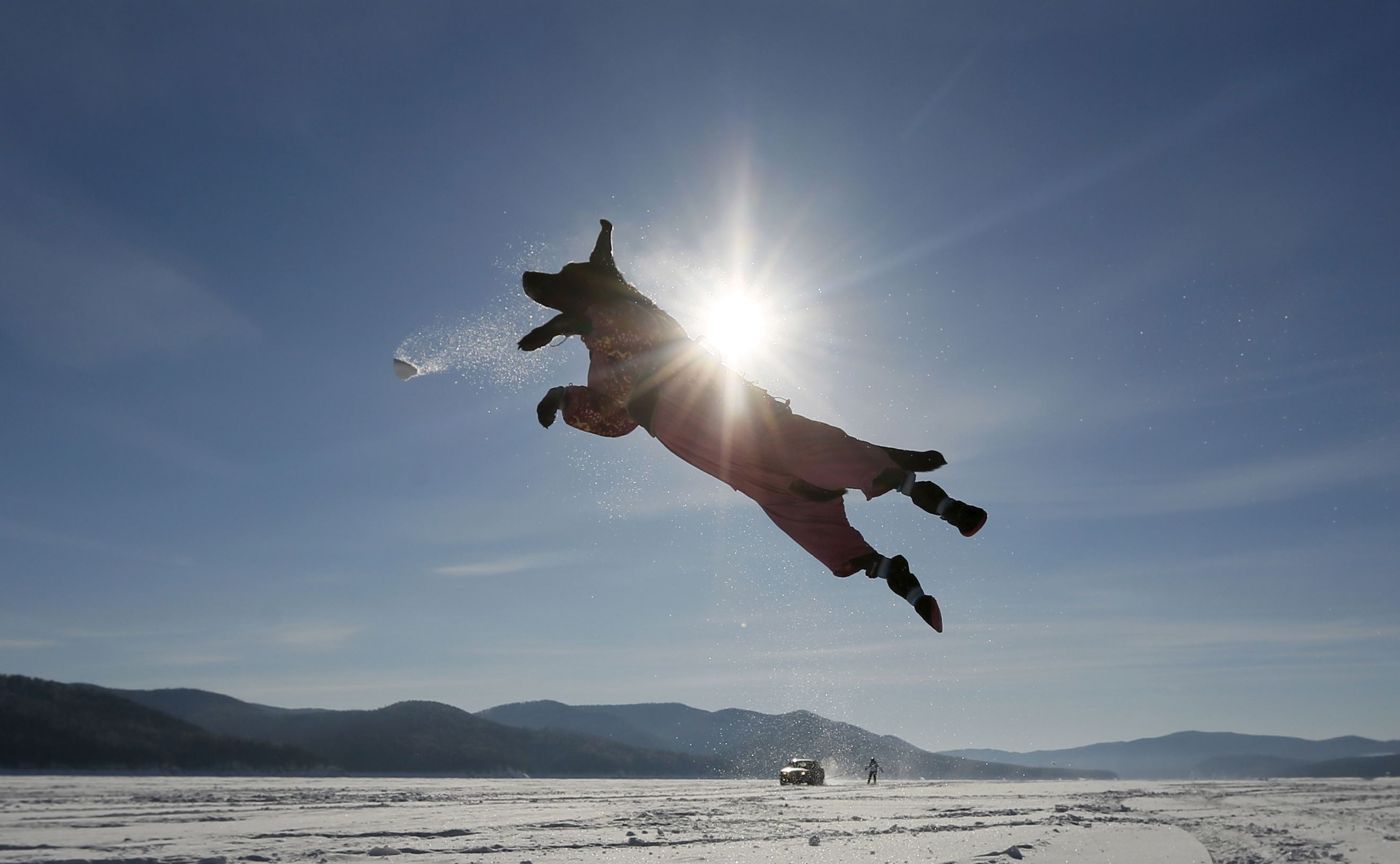 Слайд 60 из 67: A Labrador retriever jumps for a snowball while playing with its owner, with a car towing a snowboarder seen in the background, on the frozen surface of the Yenisei River, with the air temperature at about minus 20 degrees Celsius (minus 4 degrees Fahrenheit), outside Krasnoyarsk, Siberia, Russia, February 13, 2016.