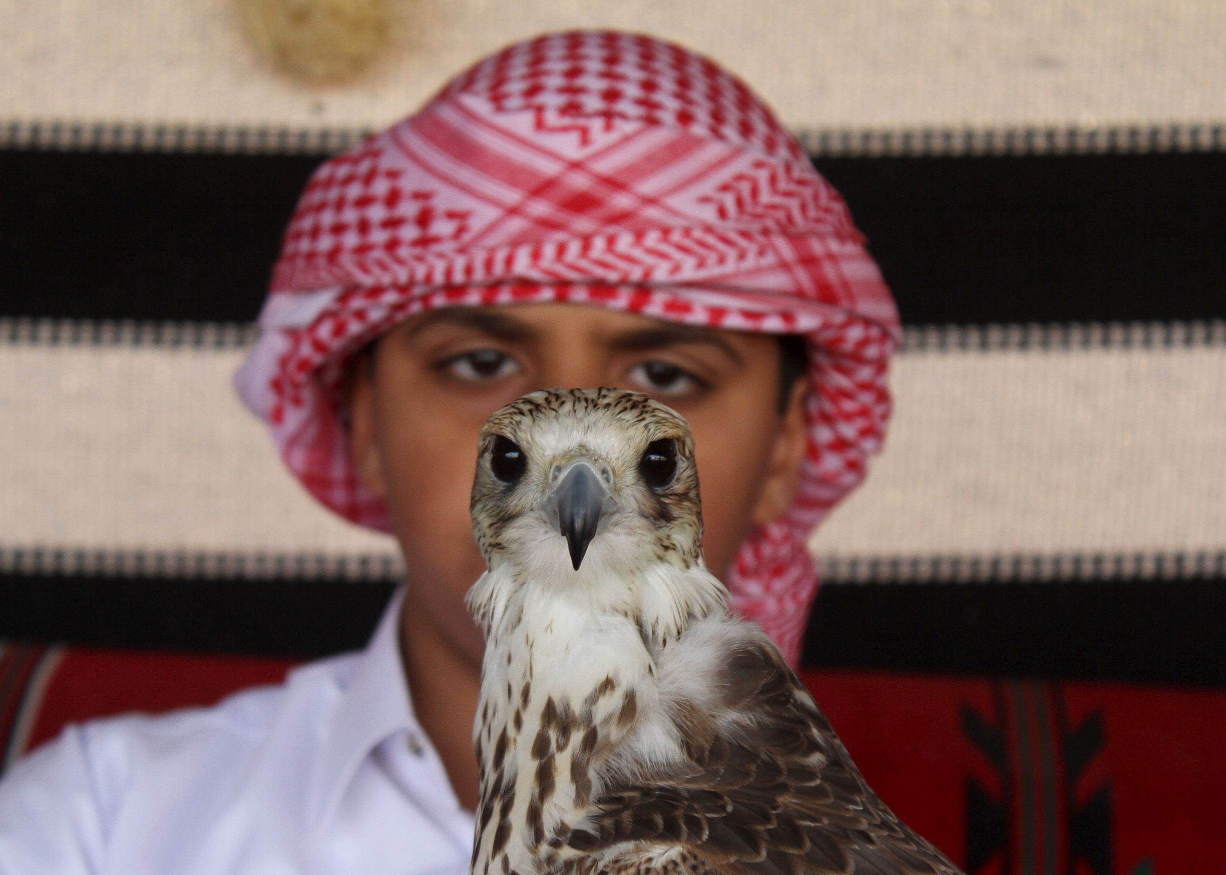 "Слайд 63 из 67: A boy holds a falcon during Qatar International Falcons and Hunting Festival at Sealine desert, Qatar January 29, 2016. The participants at the contest compete for the fastest falcon at attacking its prey. Scores of wealthy Gulf Arabs descend on Iraq to hunt the houbara bustard, a rare desert bird, with trained falcons through the winter months. But the kidnapping of 26 Qataris in December 2015 in the Iraqi desert while hunting, including members of the country's royal family, has highlighted the risks of pursuing the ""sport of kings"" at a time of heightened regional turmoil. Picture taken January 29, 2016."