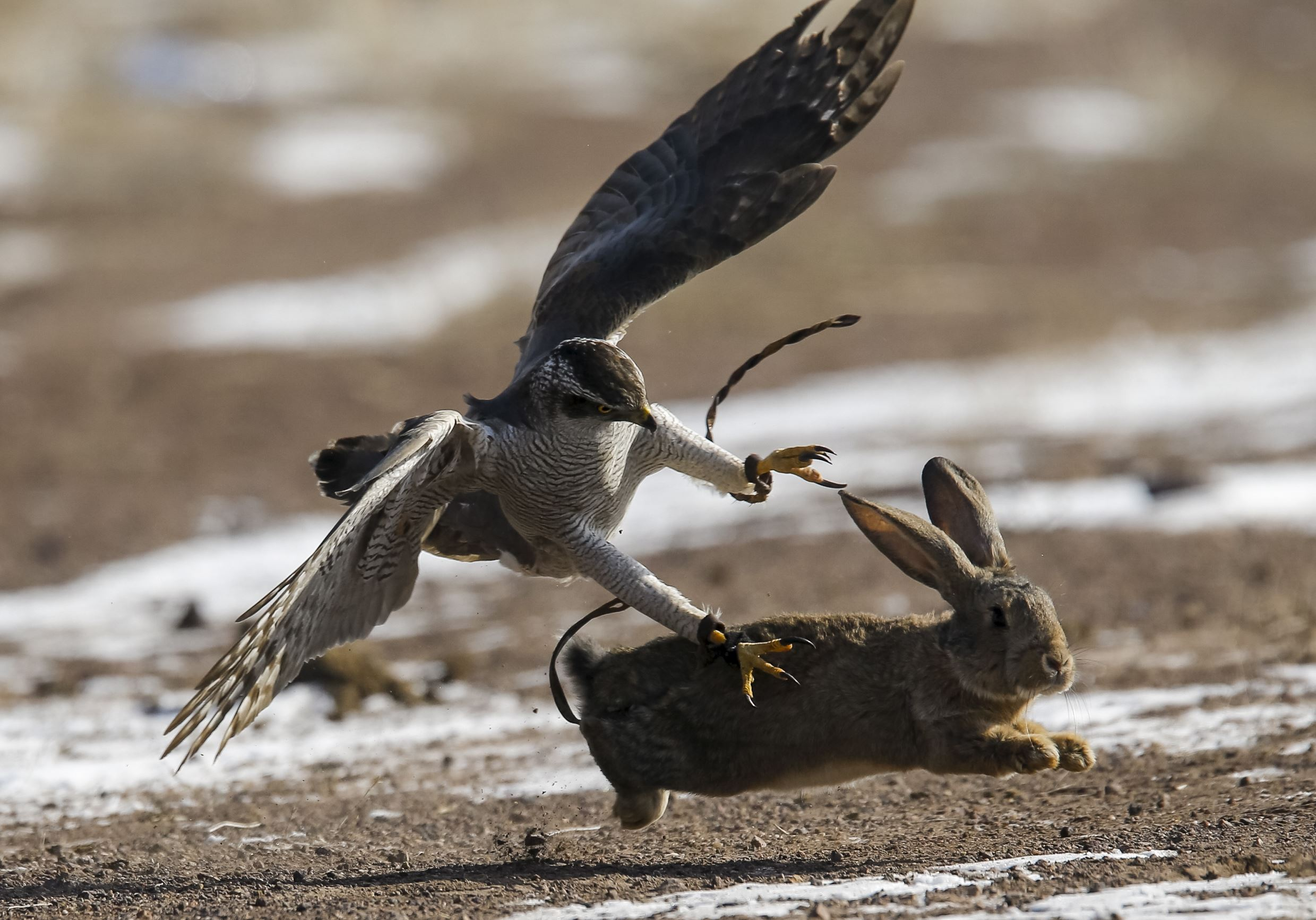 Слайд 61 из 67: A tamed hawk attacks a rabbit during the traditional hunting contest outside the village of Nura, east from Almaty, Kazakhstan, February 13, 2016.