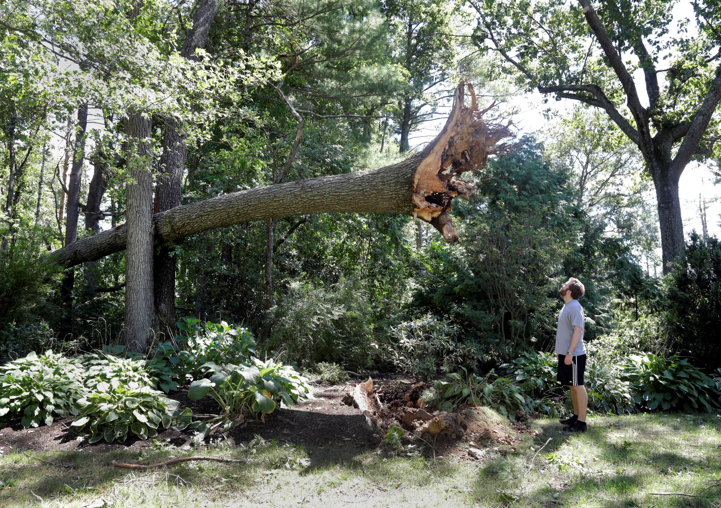 Слайд 75 из 86: Ian Thompson looks up at a large tree uprooted in his neighborhood Monday, Aug. 22, 2016, in Concord, Mass. A tornado briefly touched down in the historic Massachusetts town, uprooting trees, knocking out power, and causing damage to dozens of homes. There were no reports of injuries. (AP Photo/Elise Amendola)