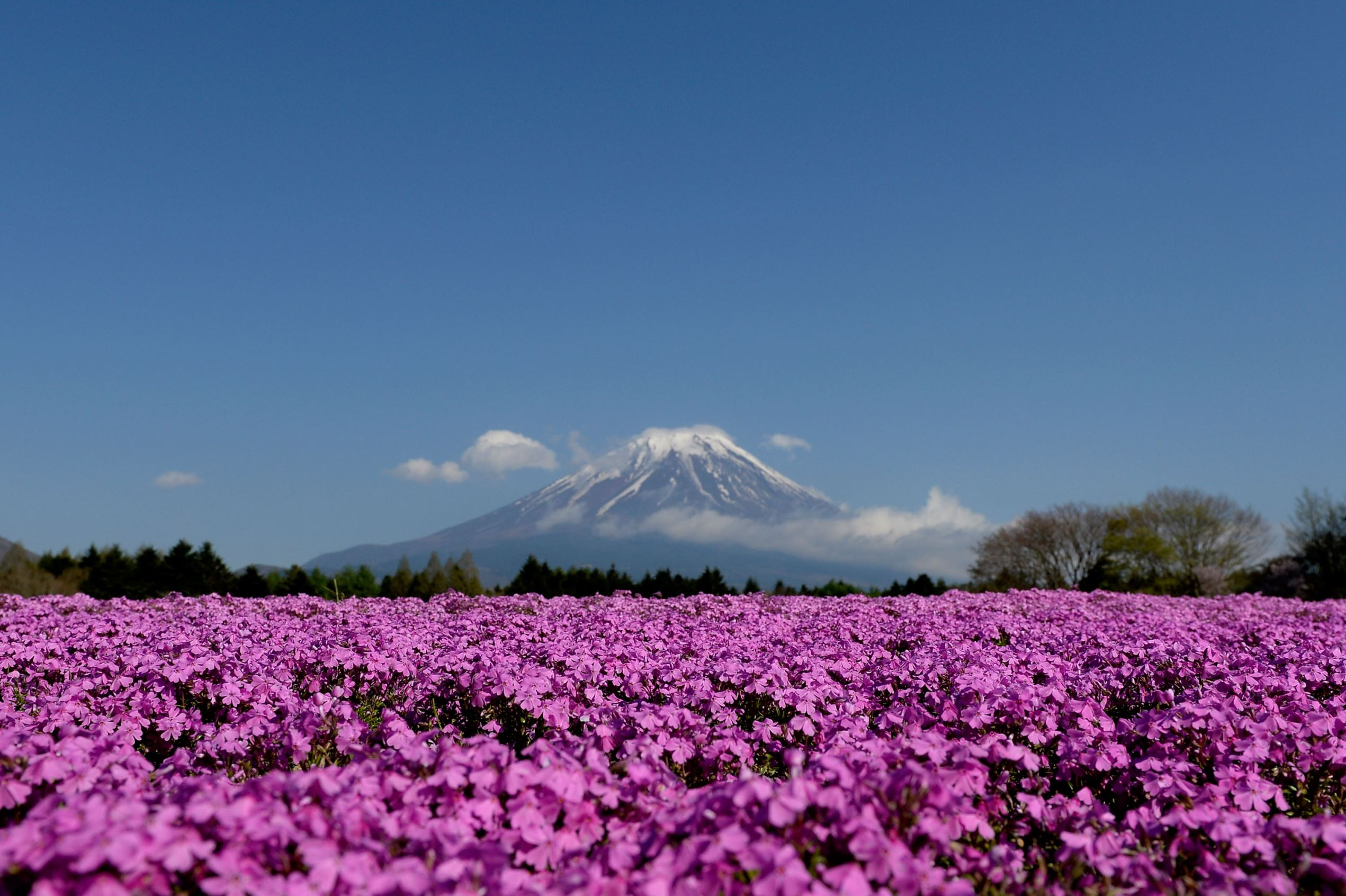 Слайд 42 из 86: FUJIKAWAGUCHIKO, JAPAN - APRIL 30:  Shibazakura (Moss phlox) bloom in front of the Mt.Fuji during the Fuji Shibazakura Festival at Ryujin-ike Pond on April 30, 2016 in Fujikawaguchiko, Japan. About 800,000 moss phlox flowers are in full bloom at the fest