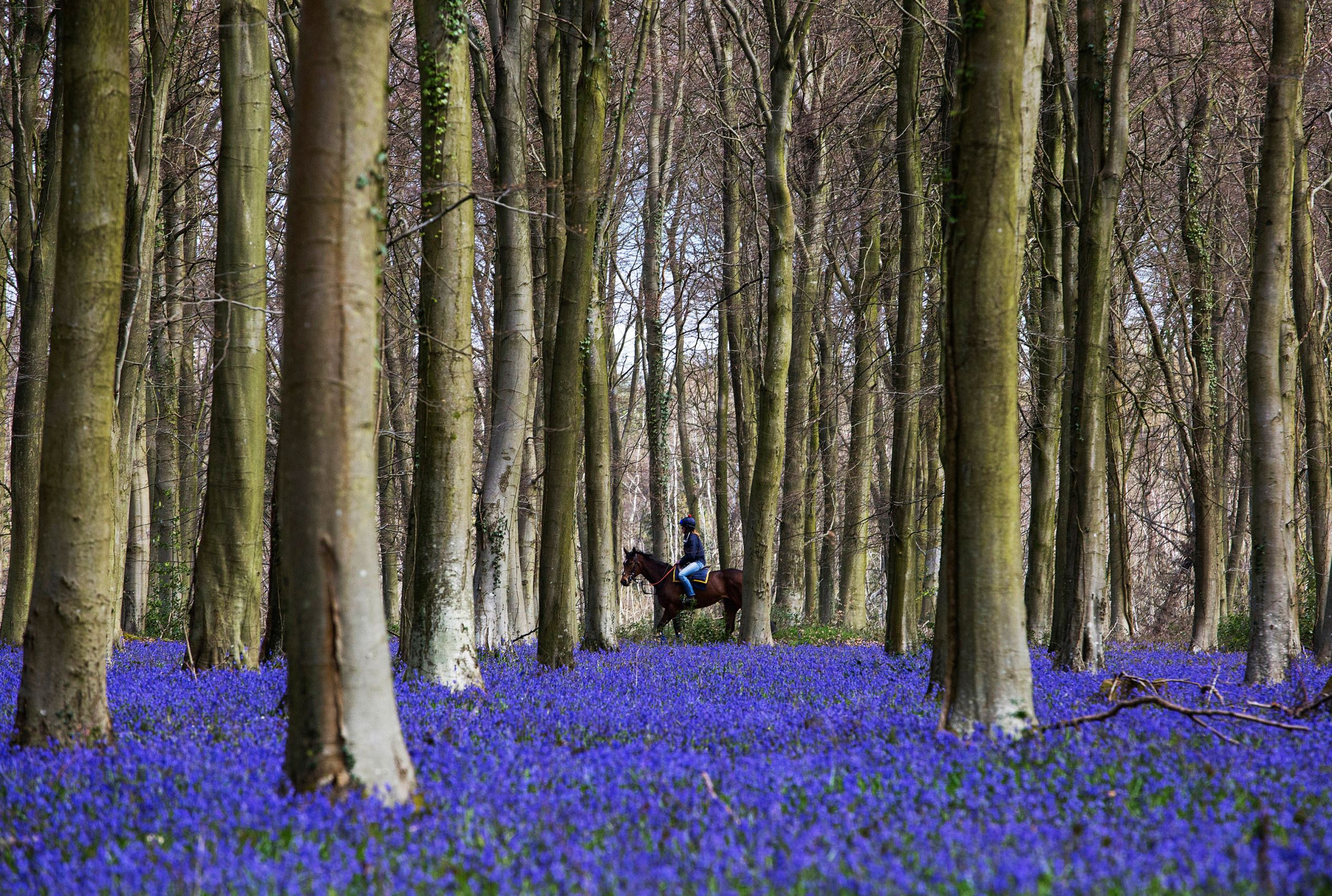 Слайд 39 из 86: LITTLEHAMPTON, ENGLAND - APRIL 19: A racehorse makes its way past a bluebell covered woodland on its way to the gallops at William Knight's Lower Coombe racing stables in Angmering Park on April 19, 2016 in Angmering, England. (Photo by Alan Crowhurst)
