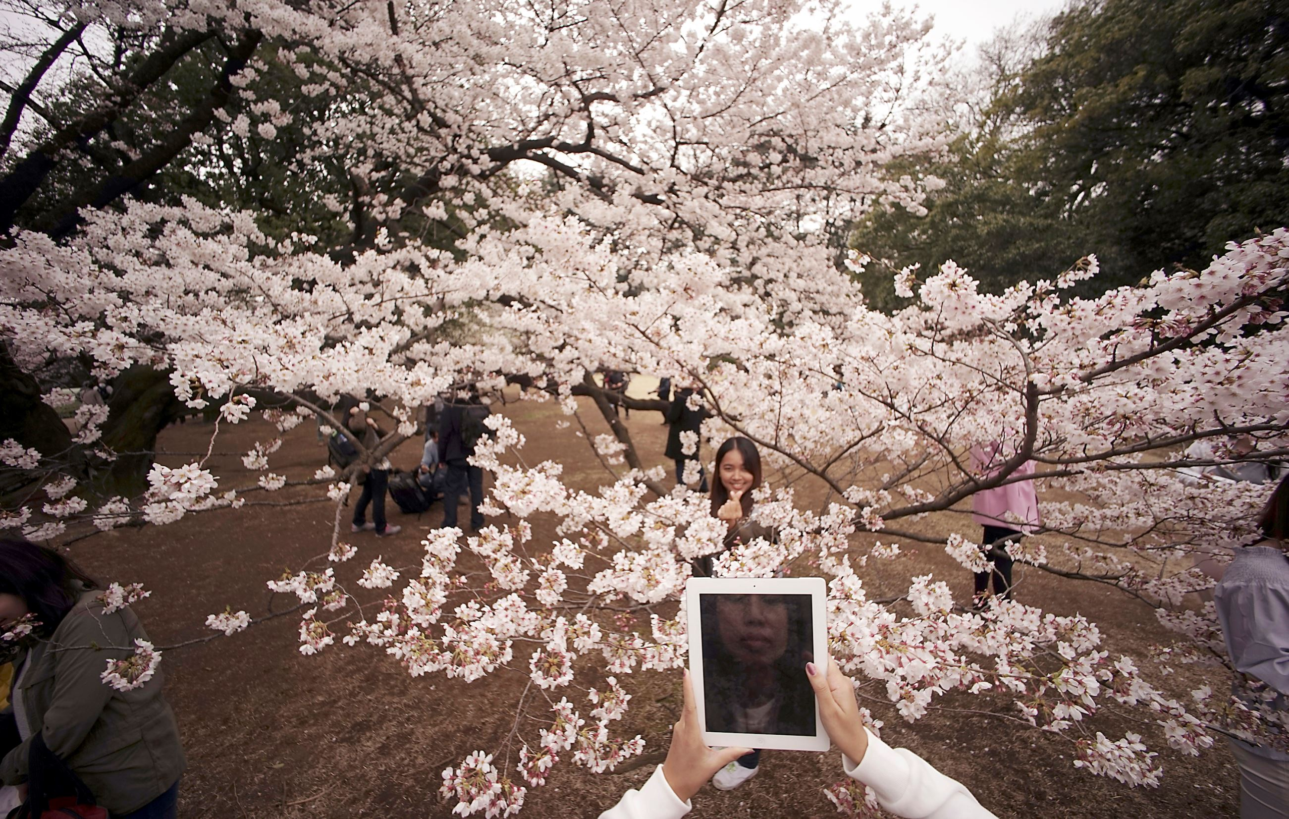 Слайд 32 из 86: A visitor takes a picture of a woman with blooming cherry blossoms as background at a park in Tokyo, Wednesday, March 30, 2016. Tens of thousands of admirers will be expected to show up at the park to enjoy the white pink blossoms. (AP Photo/Eugene Hoshi