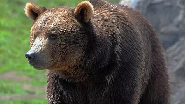 Çoğu vahşi yaşam biyologu, ayıların Kuzey Amerika'daki en zeki kara hayvanlarından biri olduğu konusunda hem fikirdir.