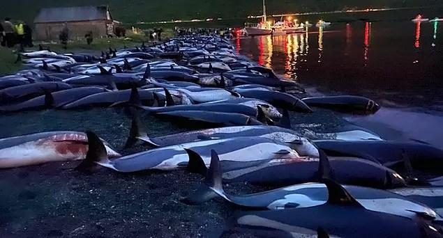 Sea Shepherd isimli örgüt, pilot balinaların ve yunusların, Faroe hükümetinin öne sürdüğü gibi hızlı öldürüldüğü vakaların çok nadir olduğunu açıkladı.