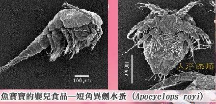 活體橈足,水蚤,Apocyclops royi (APO):小丑魚苗,海馬苗的嬰兒食品