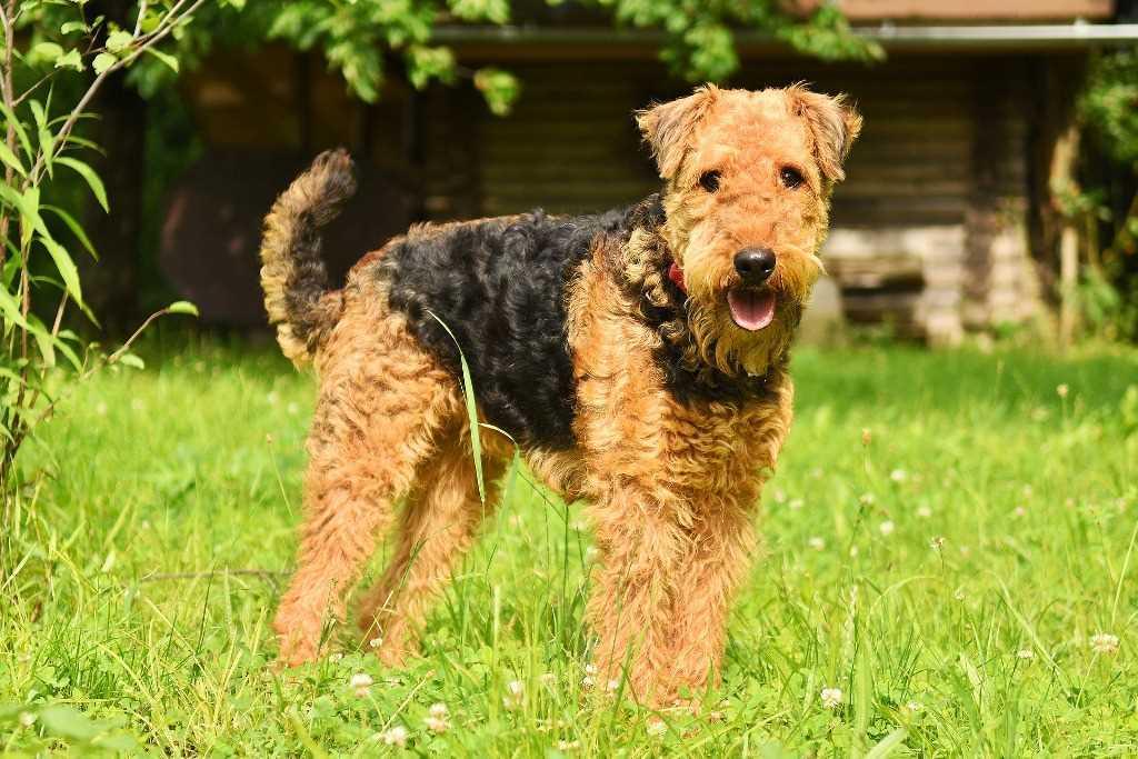La razza canina Airedale Terrier