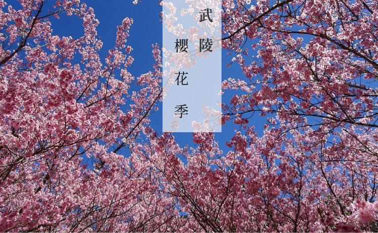 2019 武陵櫻花季 | 我在台灣遇見櫻花林,櫻花樹下的野餐,台灣也有櫻花雨