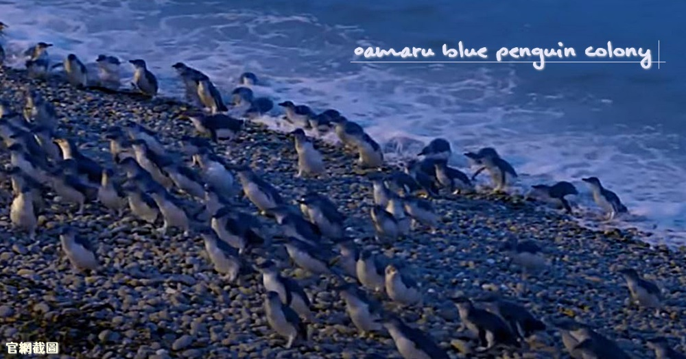 【紐西蘭南島推薦景點】Oamaru Blue Penguin Colony藍企鵝保育中心,必去親子行程,尋找世界最小企鵝