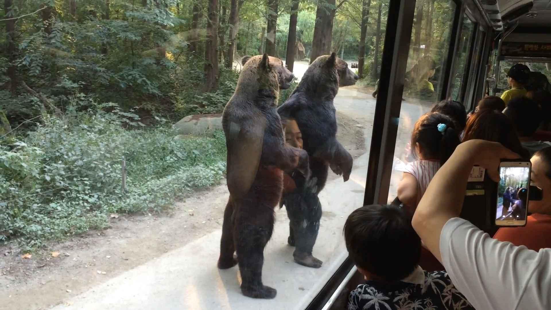 Comme nous, les ours sont prêts à tout quand il s'agit de manger.