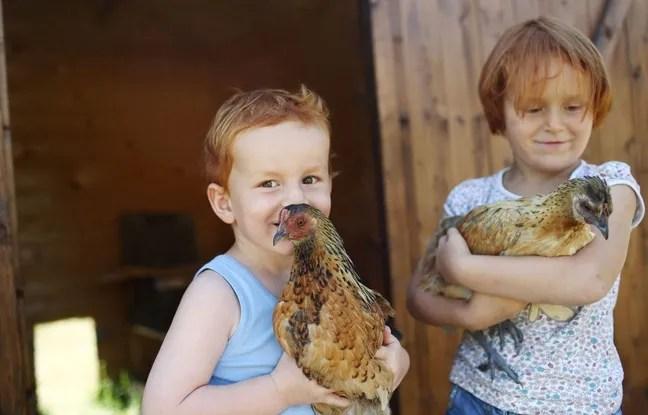 De plus en plus de familles font la démarche d'adopter des poules, animaux de compagnie qui mangent les déchets et fournissent des œufs frais.