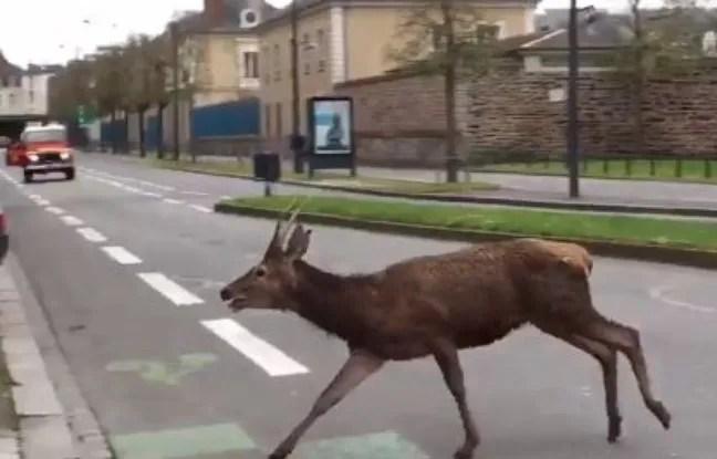 Image du cerf ici sur le boulevard de la Tour d'Auvergne à Rennes.
