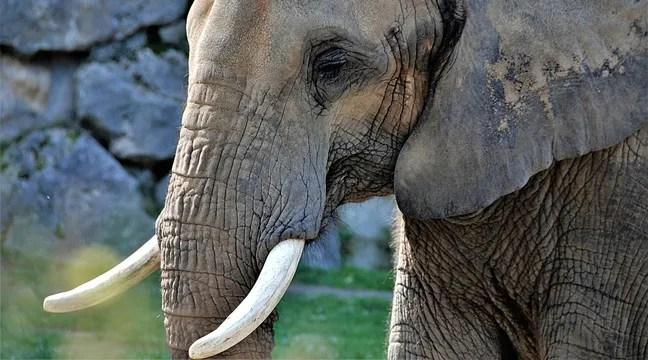Un éléphant sauvé après avoir passé plusieurs heures au fond d'un puits