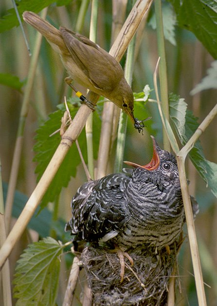 Cuckold Bird : cuckold, Cuckoo, Birds, Origin, Cuckold, [Archive], Gold-Silver, Forums