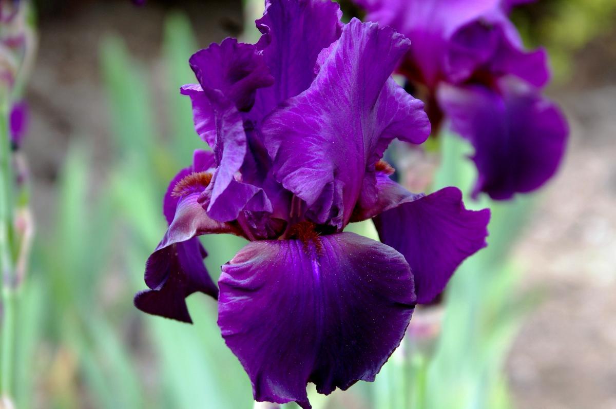 Delicato Colore Viola Pallido iris molto belle: foto, descrizioni, le migliori varietà di