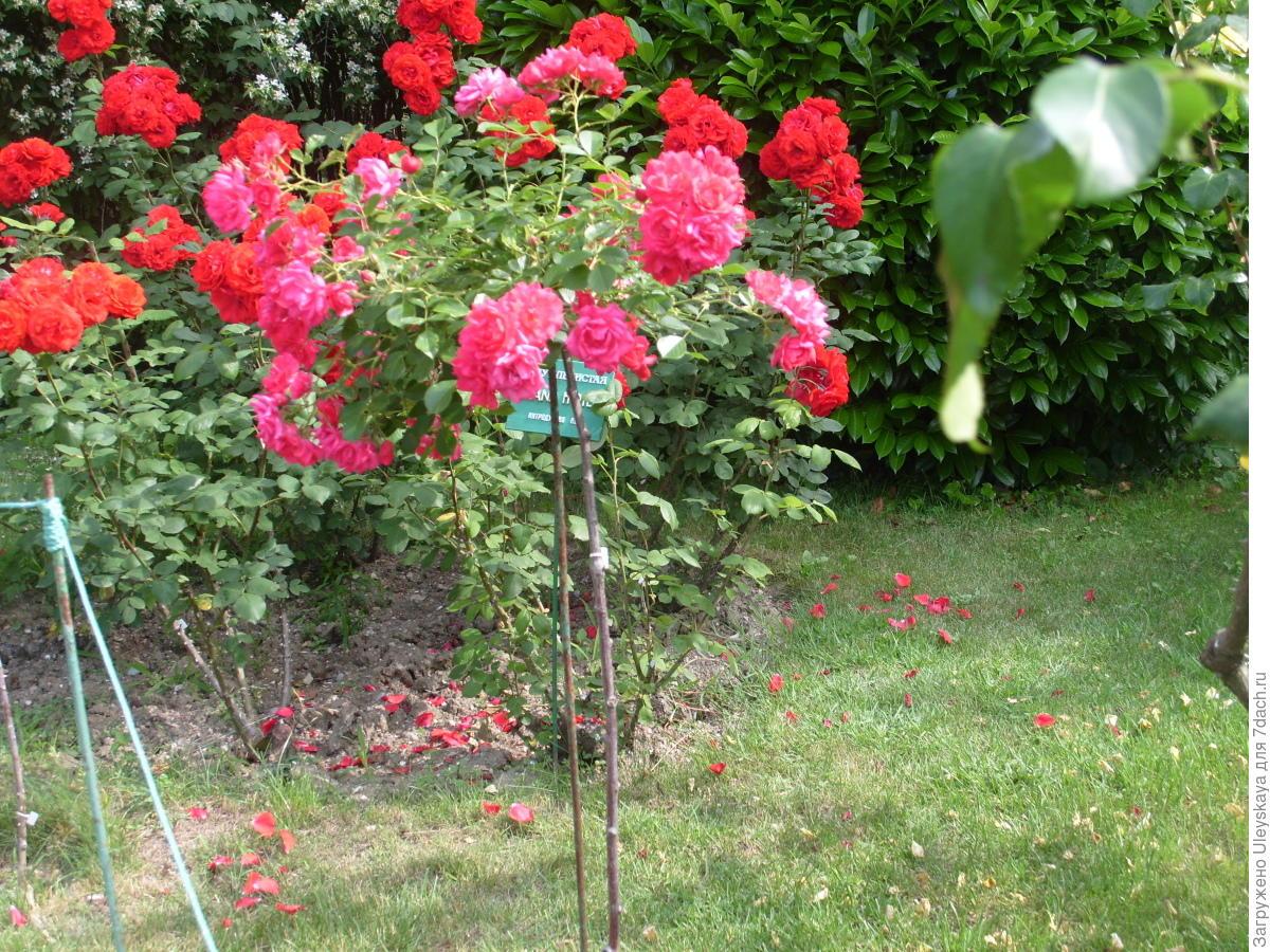 Секреты успешного выращивания розы на штамбе
