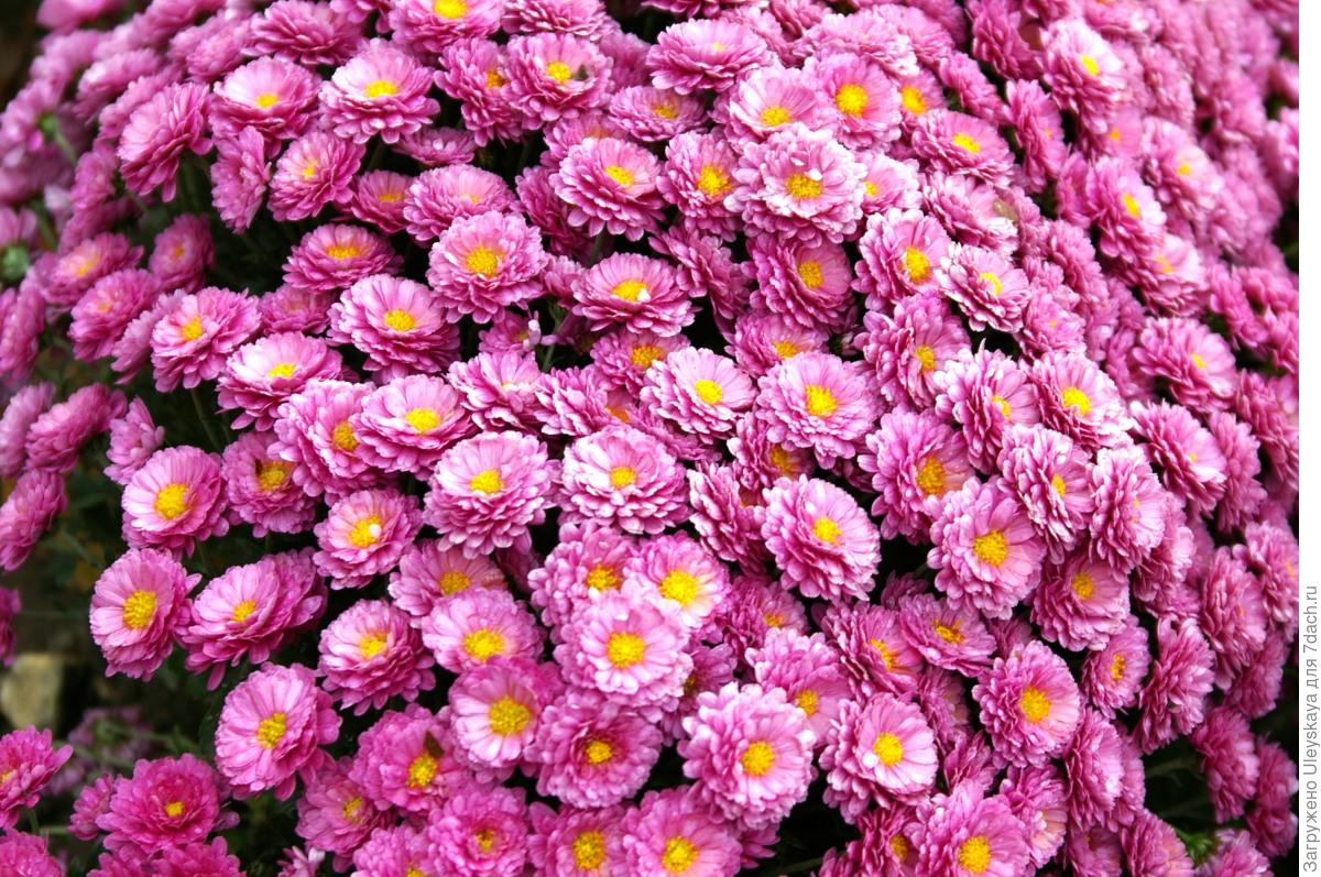 подходит все виды хризантем фото городе беспокоила, торопился