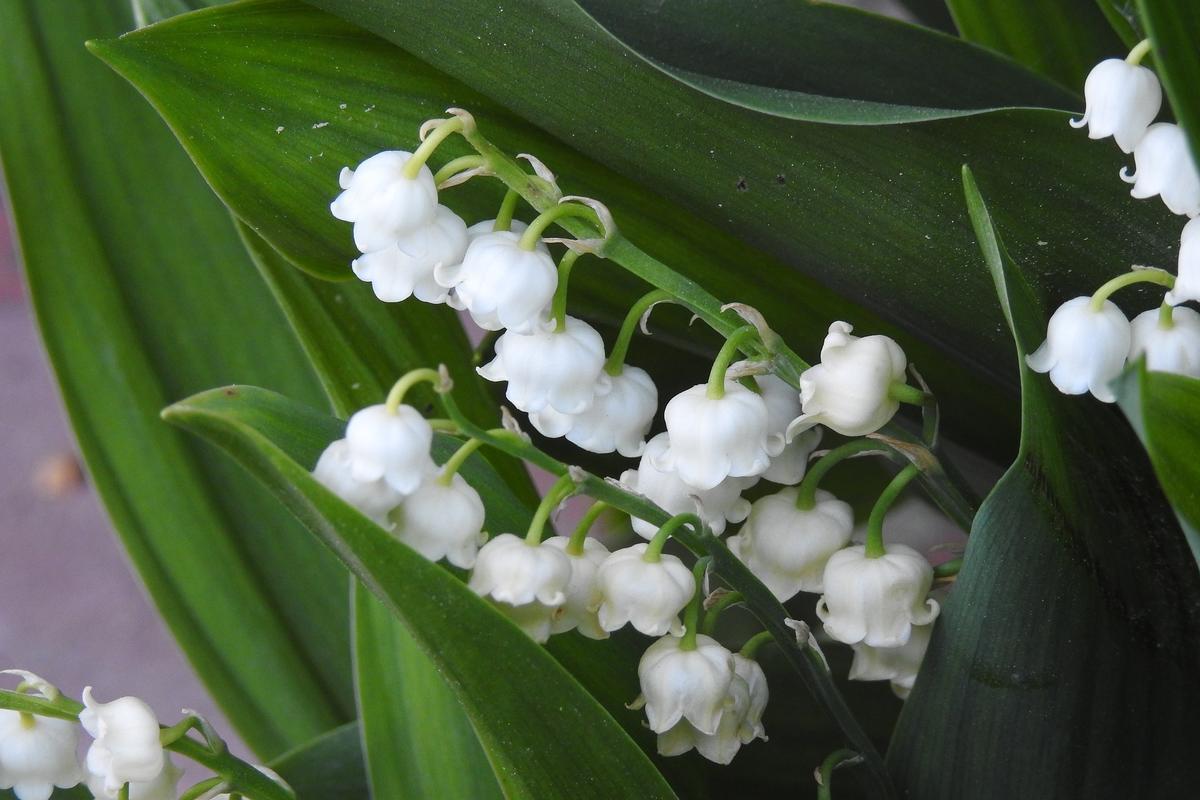 Proprietățile medicinale ale frunzelor de afine - Grădină -