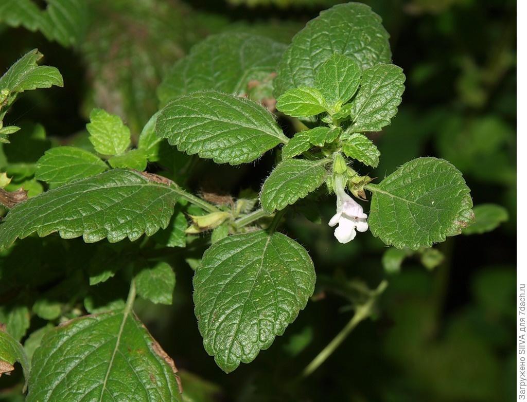 Мелисса посадка и уход в открытом грунте Выращивание из семян когда сажать Размножение фото и видео