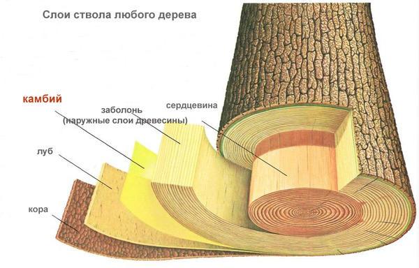 Ағаш қабаттары, схема, схема abcplanet.ru сайтынан