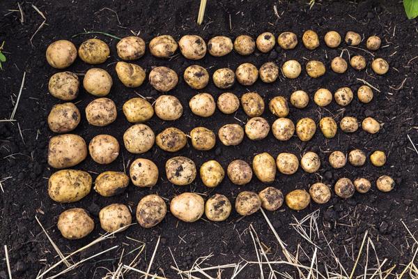 Картофель для посадки отбирают после выкопки
