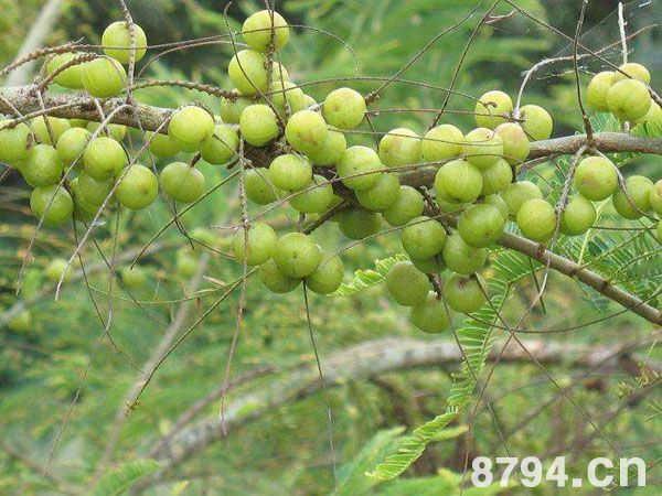 余甘子(學名柚柑)的功效與作用 余甘子的食用禁忌 - 8794網