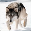 Wild Wolf Attack Simulator 3D 2.2