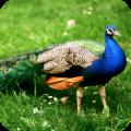 Peacock Full HD Wallpaper 1.04