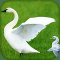 Swan Live Wallpaper : 7fon & LWP 16.0
