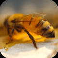 Honey Bees 4K Video Wallpaper 1.0