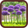 Allium Flowers Beauty 1.0